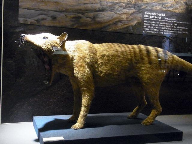 tasmanian-wolf