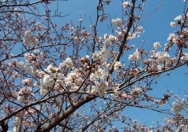 桜少し開花