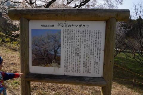 千女房桜の看板