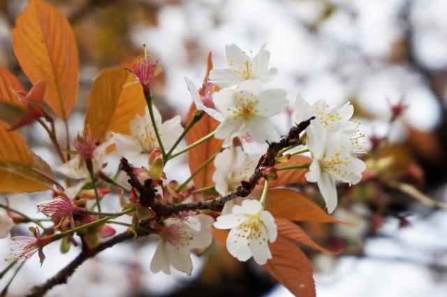wild-cherry-tree